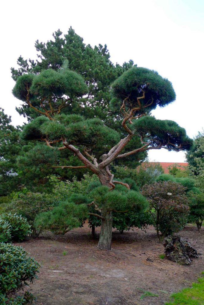 Exklusive Bäume Einzelstücke Exklusiv Und Einzigartig
